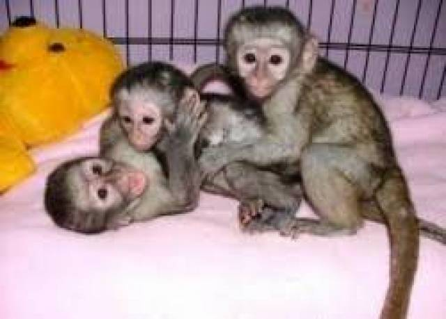 Outstanding Capuchin Monkeys for sale text us +13232503649