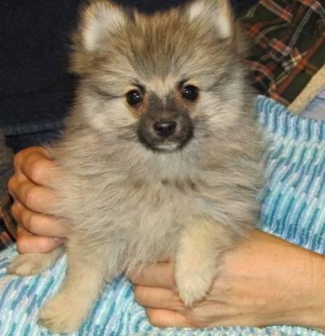 Purebred Pomeranian Puppies Oklahoma City Animal Pet