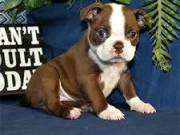 Male and Female Boston Terrier Puppies