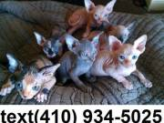 Amazing hairless sphynx kittens for sale
