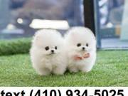 Cuttest toy t-cup pomeranian puppies for sale!