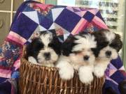 Adorable Shih Tzu puppies for adoption/FREE 304 607 2748