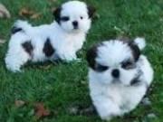Adorable Shih Tzu puppies for adoption/FREE 304 607 2748