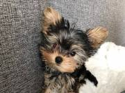 Two adorable 10 week old Yorkie  puppies