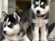 Registered Purebred Siberian Husky Puppies