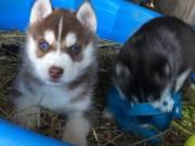 Understanding Siberian Husky Pups