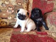 Top Quality 12 Weeks old Pug Puppies For Adoption