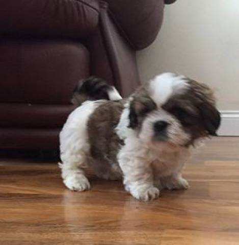 Adorable Shih Tzu puppies for adoption/FREE - Chicago