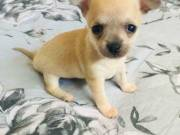 Tiny chihuahua girl SMS (650) 557-3571