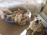 @Golden Retriever Puppies@