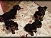 Yorkie puppies for sale. Come with full akc registration
