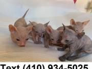 Stunning hairless sphynx kittens for sale!