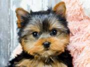 Angelic Tea Cup Yorkie Puppies For Sale.