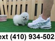 Cute smallest t-cup pomeranian puppies for sale.