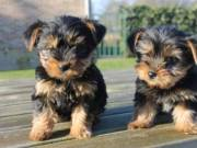 Adorable Teacup Yorkie Puppies