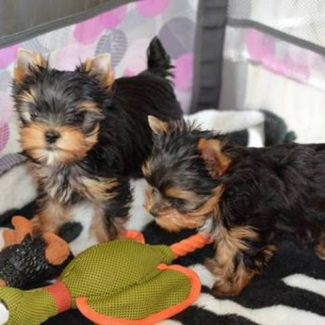 Excellent Yorkie Puppies Available Aberdeen Animal Pet