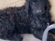 Poodle Pups, Standard Size