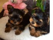 Fantastic Teacup Yorkie Puppies Available Now. You can text at (612) 502-6128