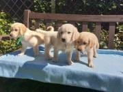 purebred Golden Retriever pups 10 weeks old
