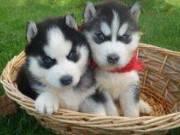 FREE Siberian Husky puppy family members (free adoption)