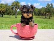 Quality Tiny Yorkie Puppies