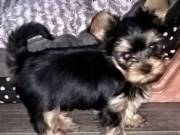 Free Male And Female Yorkie Puppies Available For Adoption