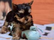 Male And Female Yorkie Puppies Available For Adoption