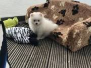 Lovely Pure White Pomeranian  Girl For Sale