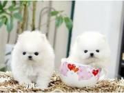Pomeranian Pups. 8 0 4  5 2 8  1 7 6 1.