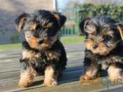 T-Cup Yorkie pups for adoption