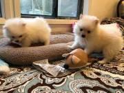 Teacup Pomeranian Puppies.