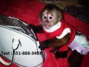 Adorable Capuchin Monkey Text : 551-888-3483