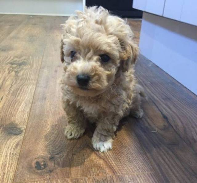 Maltipoo Puppies for sale text us 571-308-8632 - Milwaukee