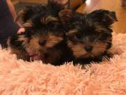 AKC boys and girls Teacup Yorkie Puppies available b