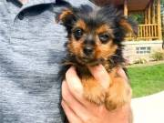 Adorable Male and Female Teacup Yorkie puppies ready (301) 357-8722