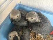 Talking Pair of African Grey Parrots for sale