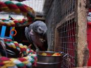 Talking Baby African Grey Female Available Text or Call