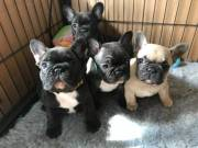 Adorable weeks 10 old French Bulldog Puppies.