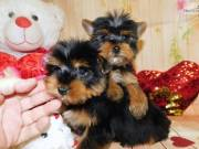 YORKSHIRE TERRIER FOR ADOPTION TEXT:551-888-3483
