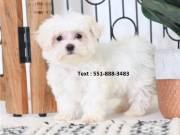 Adorable Maltese Puppies for adoption  TEXT (551-888-3483)
