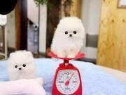 Passionate Purebred Tiny Pomeranian Puppies
