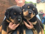 Home Trained Rottweiler puppies