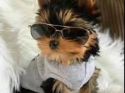 Super cute Yorkshire Terrier puppies