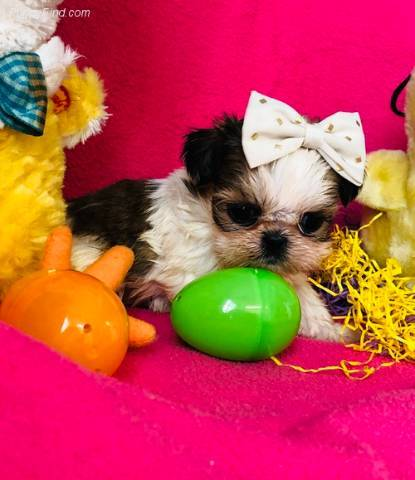 Male And Female Shit Tzu Puppies For Sale Alexandria 5128