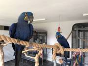 DNA Tasted and trained parrots, Macaw and cockatoos for sale