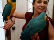 Great Blue ad Gold Macaws Parrots Now ready
