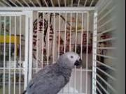 Talking male and female African Grey parrots available now   for sale