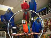 Parrots babies and fertile eggs for sell of  all species