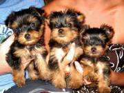 Super Adorable Teacup Yorkie puppies
