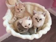 lovely british short hair kittens for sale
